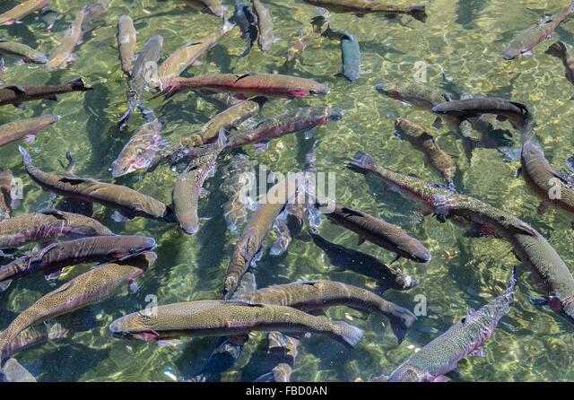 Rainbow trout bonneville dam stock photos rainbow trout for Bonneville fish hatchery