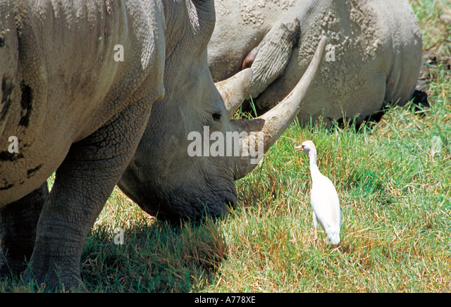cow and egret symbiotic relationship