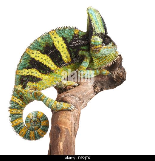 Chameleon Stock Photos & Chameleon Stock Images