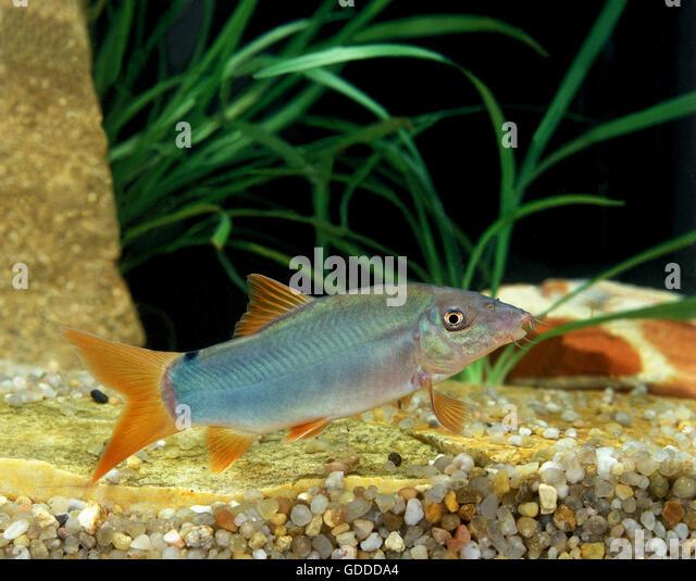BLUE LOACH OR BLUE BOTIA botia modesta - Stock Image