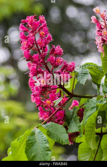 Horse chestnut aesculus hippocastanum tree flowers stock photos pink flowering horse chestnut aesculus hippocastanum tree stock image mightylinksfo
