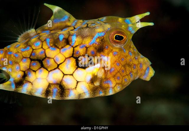 longhorn cowfish lactoria conuta sulawesi indonesia southeast asia asia