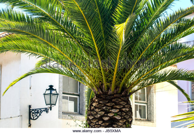 Scenic big Palm in Portugal. - Stock Image