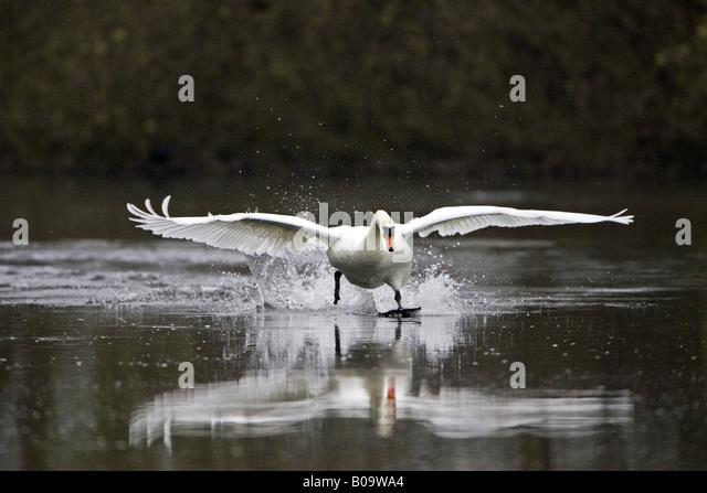 Swan Flying Away Stock Photos & Swan Flying Away Stock ...