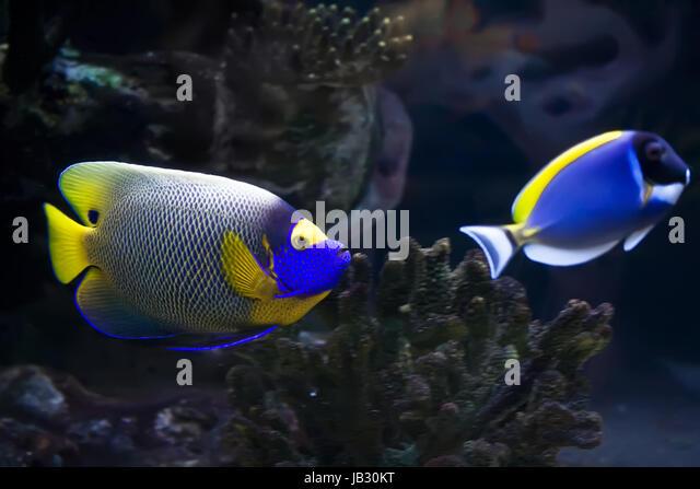 Angelfish regal tropical fish stock photos angelfish for Jb tropical fish