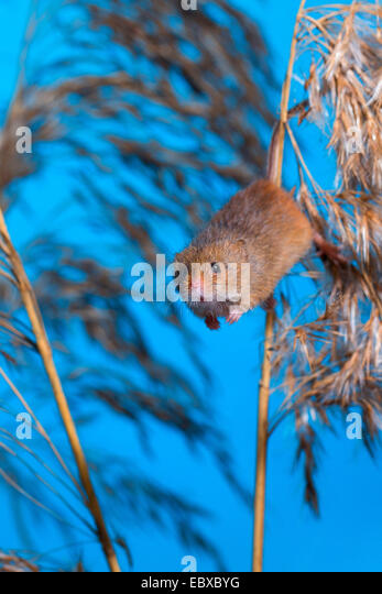 jumping mouse Jumping mice (subfamily zapodinae) are a group of mouse-like rodents in north america and china.