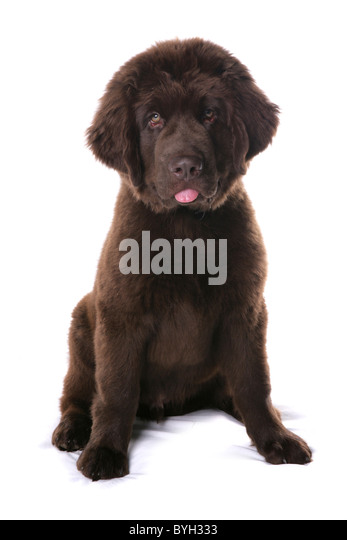 newfoundland black singles The newfoundland dog breed: the most important single characteristic of the newfoundland is sweetness of temperament the newfoundland is calm, patient, easygoing,.