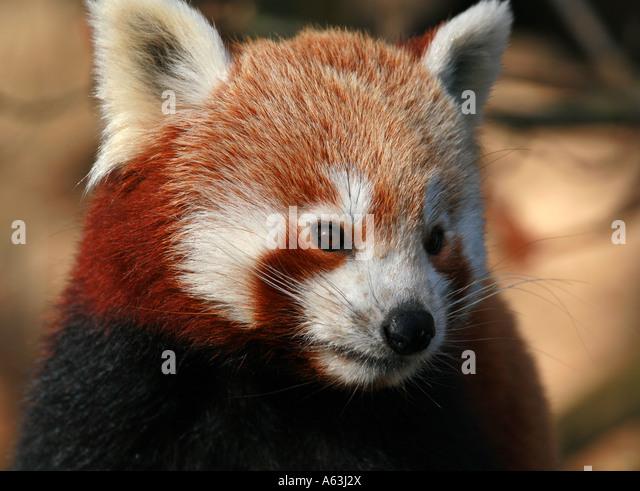 meet red pandas bristol