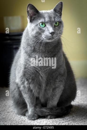 Russian Blue Cat Green Eyes Stock Photos & Russian Blue ... Russian Blue With Green Eyes