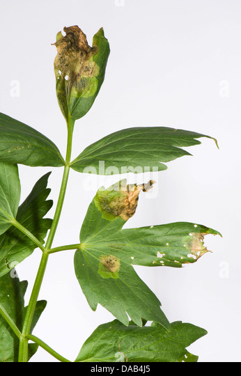 how to grow lovage from seeds