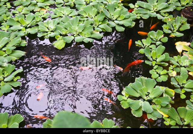Koi pond formal stock photos koi pond formal stock for Pond fish plants