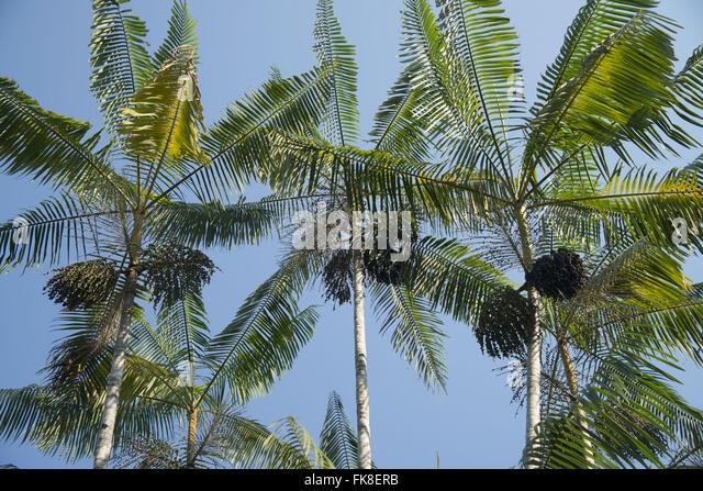 Acai Palm Tree Stock Photos & Acai Palm Tree Stock Images ...