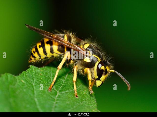 Bee Sting Stock Photos...