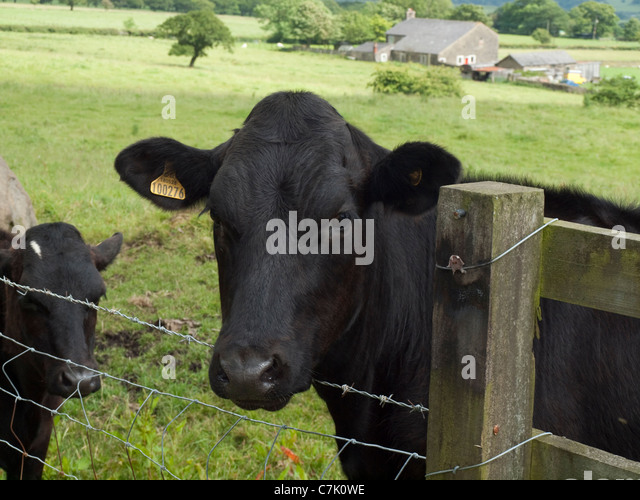 Holstein Friesian Calf Cow Looking Over Fence...