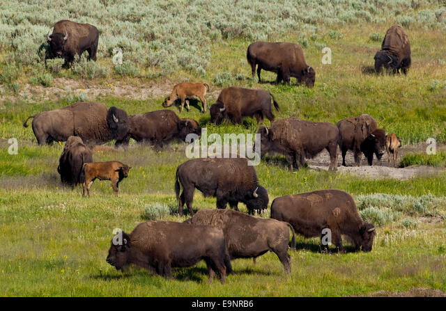 near extinction of north american bison Clarence parker: north dakotan who helped repopulate the bison after near extinction  as being the man who saved the american bison from extinction.