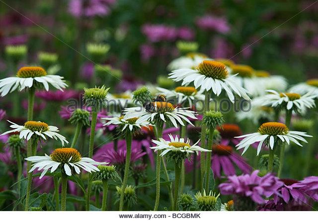 echinacea purpurea magnus stock photos echinacea. Black Bedroom Furniture Sets. Home Design Ideas