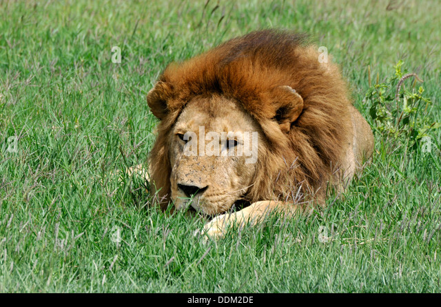Alpha Male Lion Stock Photos & Alpha Male Lion Stock