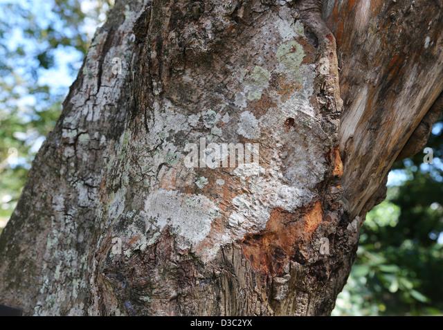 Cinnamon Tree Bark Stock Photos & Cinnamon Tree Bark Stock ...