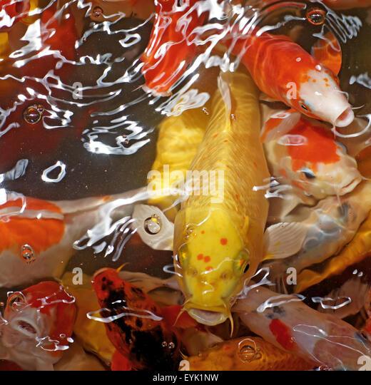 Koi fish wild stock photos koi fish wild stock images for Fancy koi fish