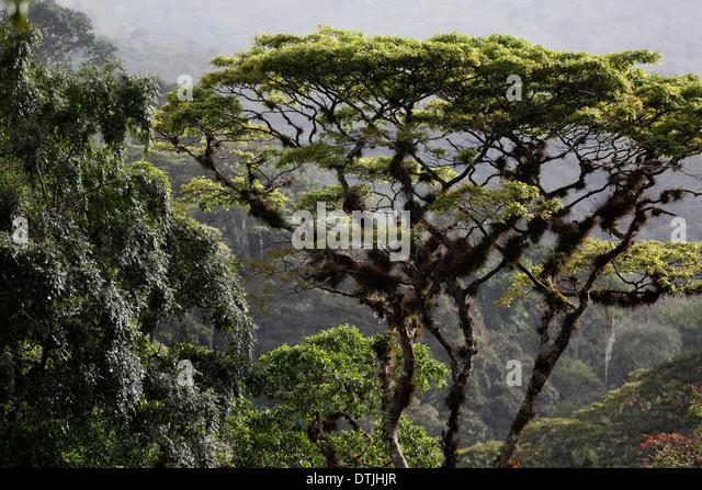 Rain forest canopy San Ramon Nicaragua - Stock Image & Rain Forest Canopy Trees Stock Photos u0026 Rain Forest Canopy Trees ...