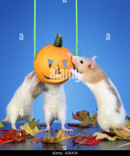 Dog Food Attracting Rats