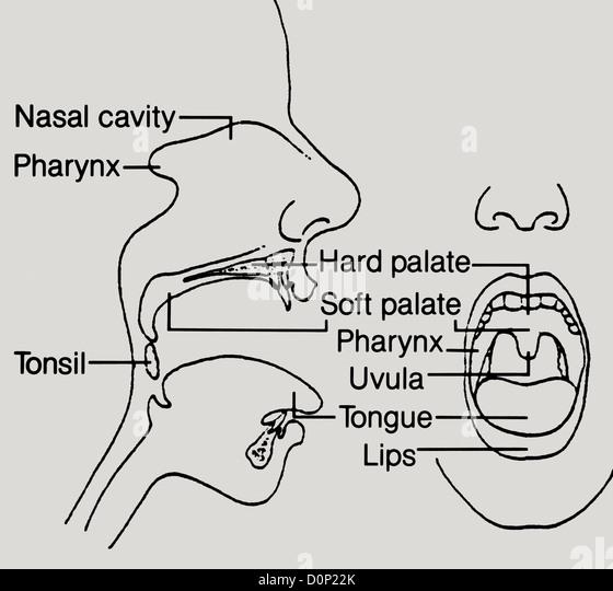 uvula stock photos  u0026 uvula stock images