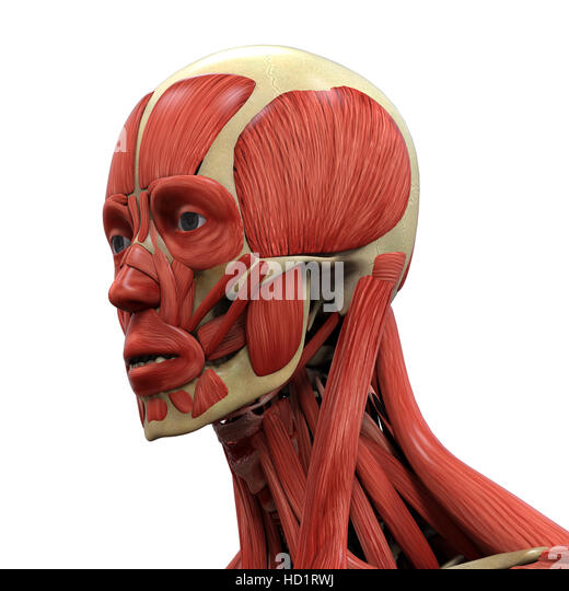 frontalis muscle stock photos & frontalis muscle stock images - alamy, Muscles