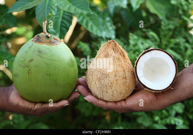 how to buy coconut seeds