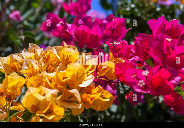 Orange bougainvillea stock photos orange bougainvillea stock images alamy - Flowers native to greece a sea of color ...