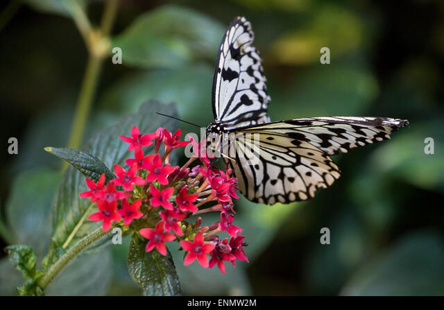 Black and white butterflies stock photos black and white for White paper butterflies