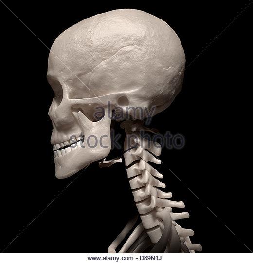 neck bones stock photos & neck bones stock images - alamy, Skeleton