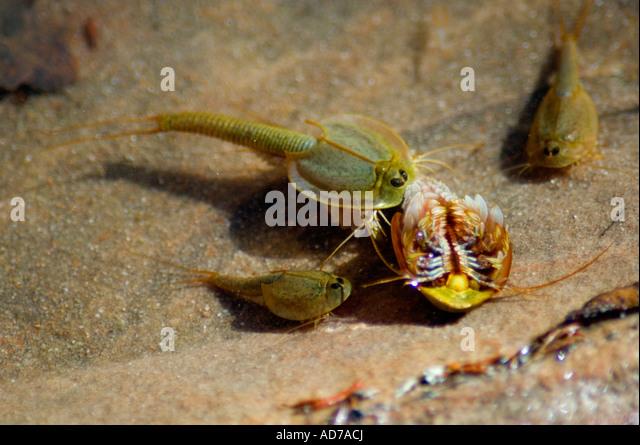 Desert Tadpole Shrimp : Tadpole Shrimp Triops crustaceans in pool of water in desert at Coyote ...