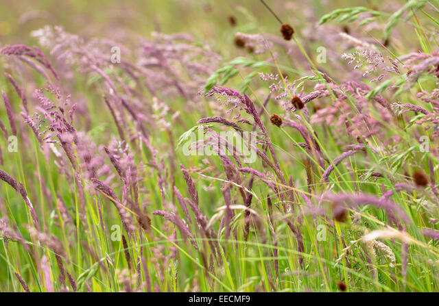 Ornamental grasses uk stock photos ornamental grasses uk for Wild grass gardens