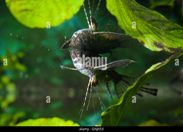 Flyingfish stock photos flyingfish stock images alamy for Freshwater butterfly fish