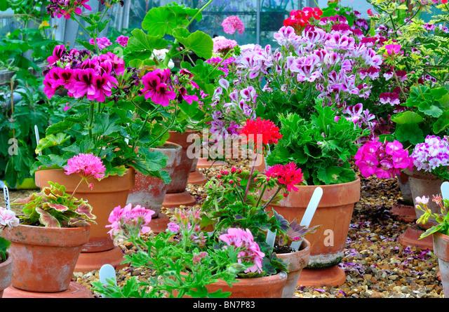 geraniums in pots stock photos geraniums in pots stock images alamy