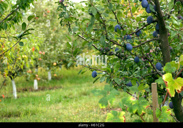 Prune apple tree stock photos prune apple tree stock images alamy - Spring trimming orchard trees healthy ...
