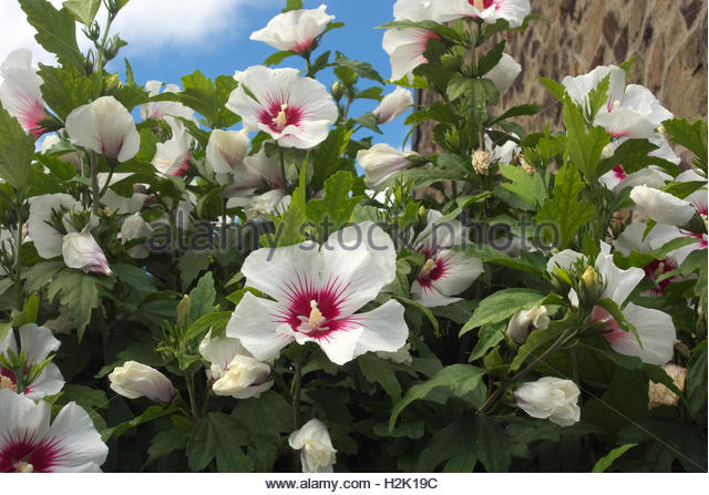 hibiscus syriacus red heart stock photos hibiscus. Black Bedroom Furniture Sets. Home Design Ideas