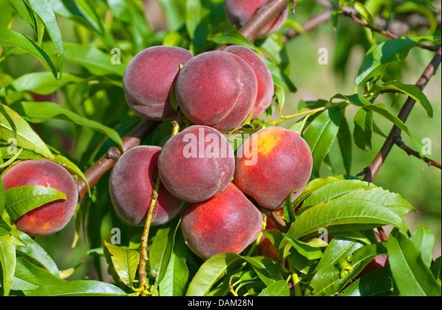 ... peach cobbler aka peach puzzle peach pie peach pie peach pie peach jam