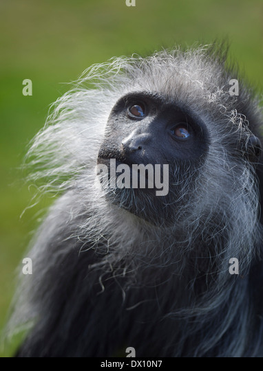 the colobus monkey of africa The endangered pennant's red colobus monkey procolobus pennantii  the red  colobus monkeys of west africa and west central africa are probably more.