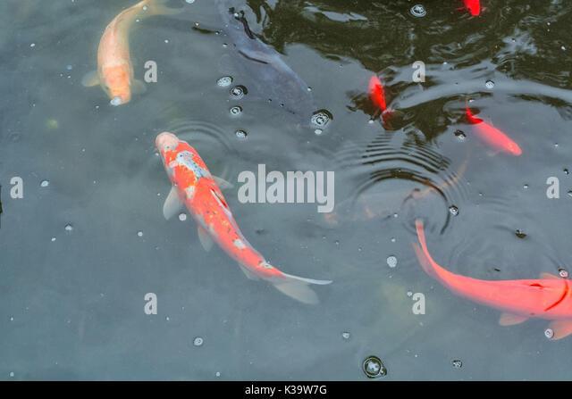Goldfish koi pond stock photos goldfish koi pond stock for Koi carp colours