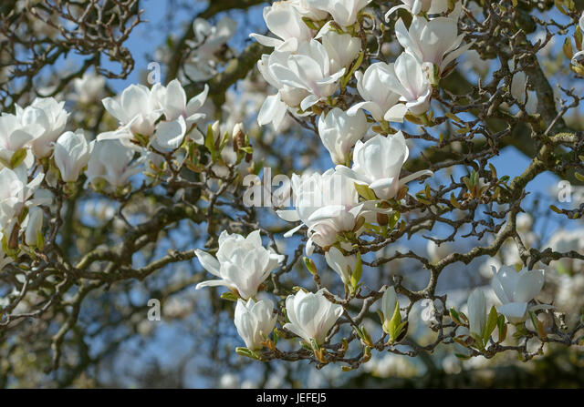 tulip magnolia magnolia soulangeana amabilis stock photos. Black Bedroom Furniture Sets. Home Design Ideas