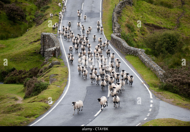 Image result for sheep on road