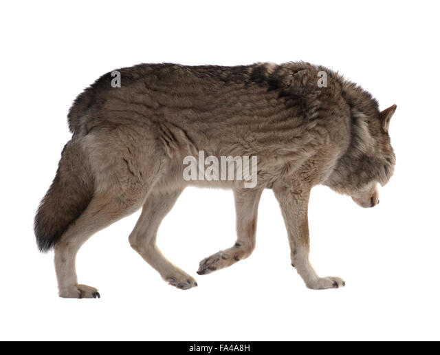 mackenzie valley wolf pup