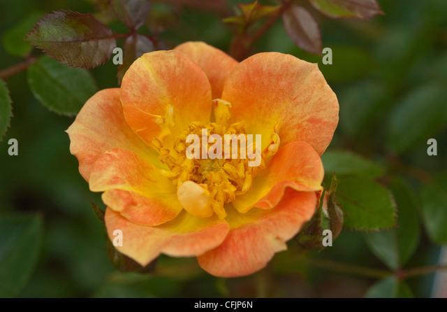 paprika blossom stock photos amp paprika blossom stock