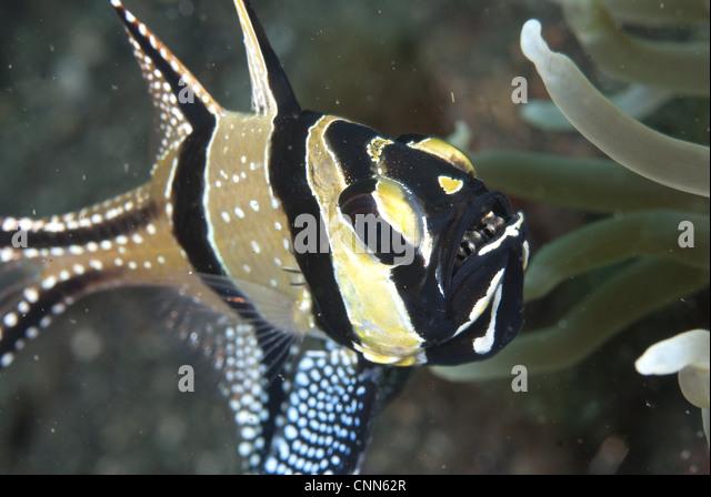 banggai cardinalfish - photo #43