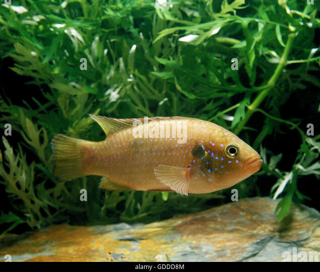 Bimaculatus Stock Photos & Bimaculatus Stock Images - Alamy