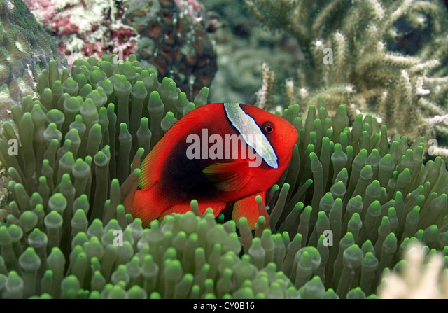 Tomato clownfish anemone - photo#12