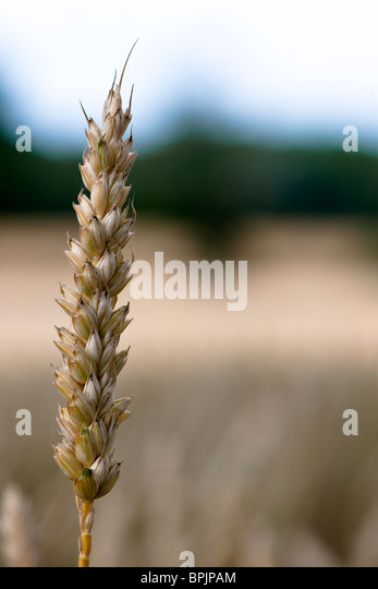 anthesis stage of wheat