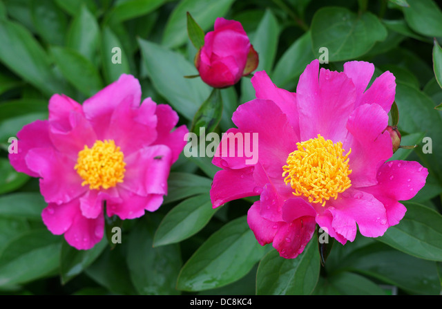 Pink Peonies Stock Photos Pink Peonies Stock Images Alamy