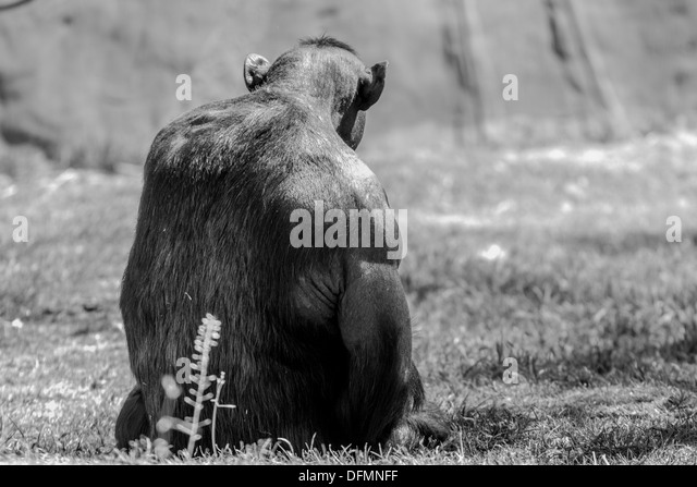 http://l7.alamy.com/zooms/8ba978b8e09a484ea452e254f16a3061/a-strong-male-chimp-sitting-on-the-grass-dfmnff.jpg
